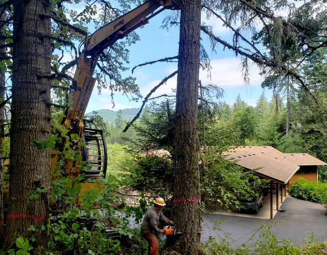Oregon White Oak Release
