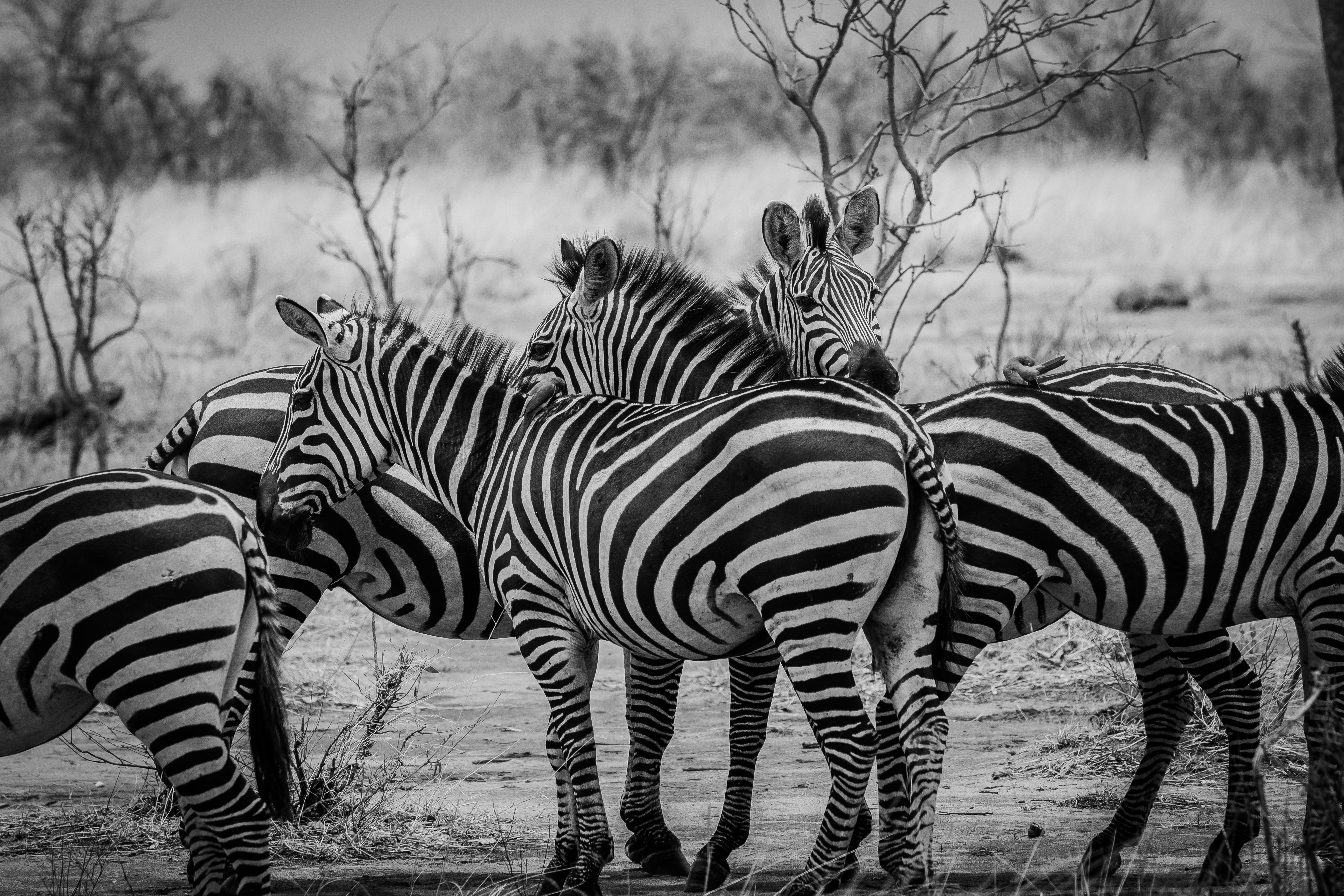 Zebra TNC