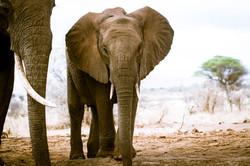 Baby Elephant TNC