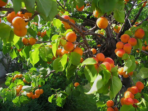 Rare Apricot Seeds: Incredibly Delicious & Sweet, Easy Planting: 10 Seeds.
