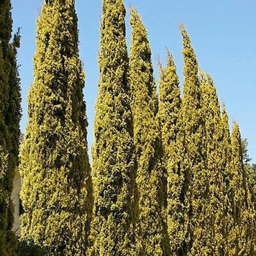 Golden Pencil Pine (Cupresses sempervirens) Conifer, Evergreen 50 Seeds