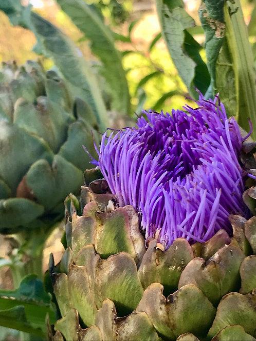 ARTICHOKE 'Green Globe' 25 seeds (Hardy Perennial) Heirloom Variety