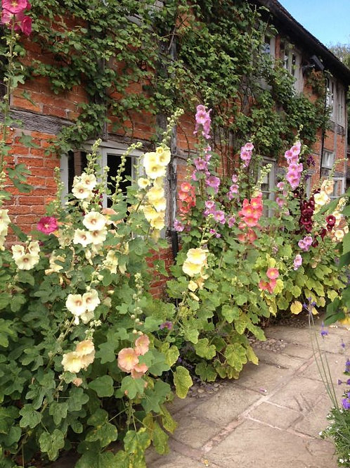 Heirloom Mixed Colour Hollyhock seeds: Old Fashioned Tall Variety 20 Seeds