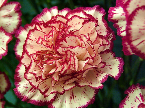 Carnation Essential Oil