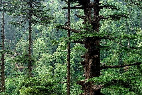 Himalayan Cedarwood 100ml