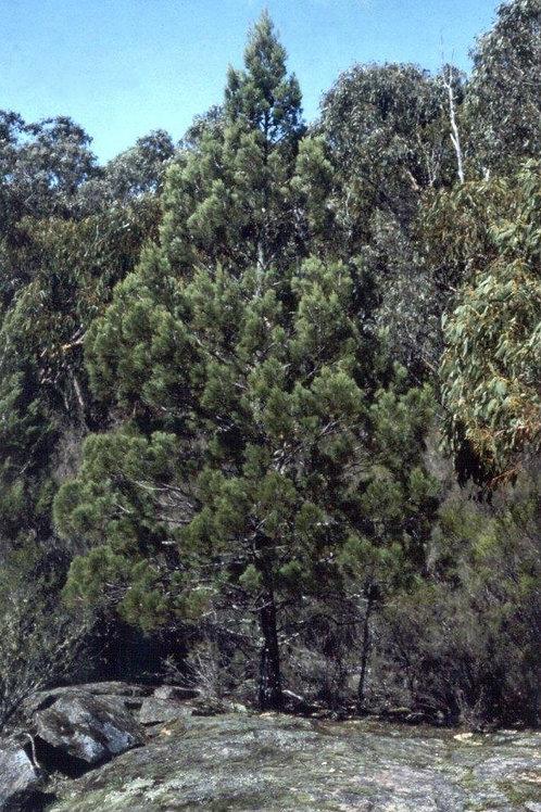 Native Black Cypress Pine (Callitris Endlicheri) 20 Seeds