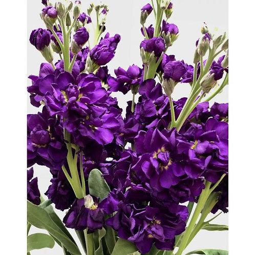Purple Stock Flower: Single Petal, Strong Scent, Ladybug Attractor