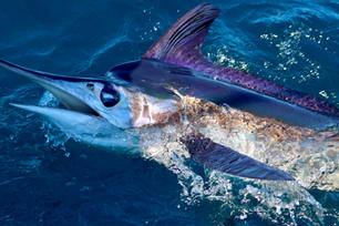 White Marlin 3.JPG