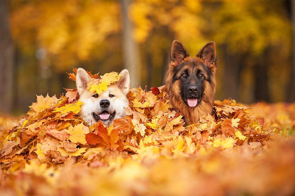 Two dogs lying in leaves .jpg
