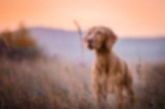 Hungarian hound dog.jpg