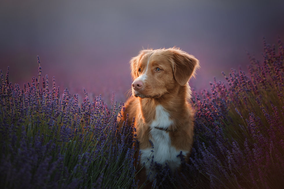a dog in the colors of lavender, a dog on a lavender field, a Provence. Nova Scotia Duck T