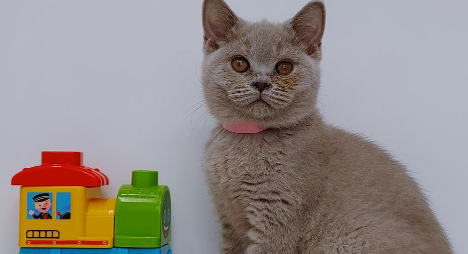 BMM Lilac kitten