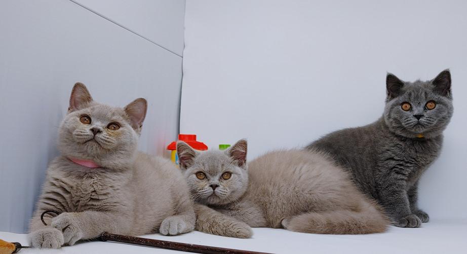 Lilac & Blue kittens