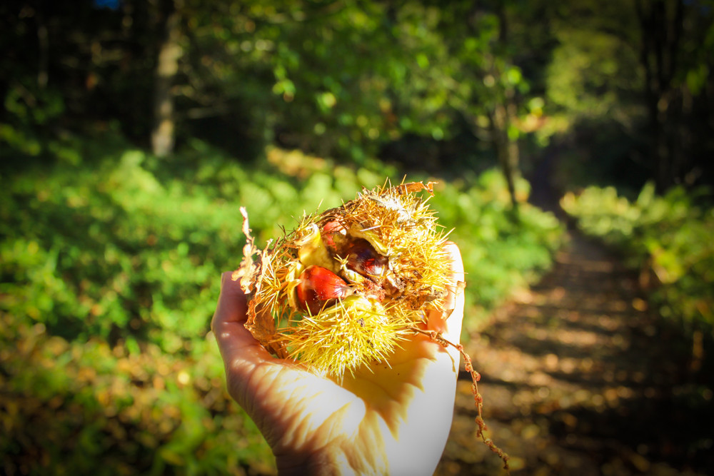 Image of chestnuts held carefully in spiky shell. (Ruth Anderson-Davis blog piece)