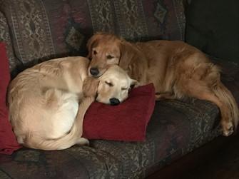 Huebbe Family Comforts Two Golden Retrievers Amidst Quarantine