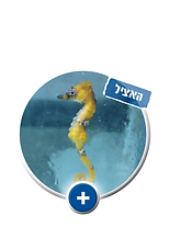 סוסון ים תיכוני