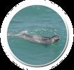 כלב ים נזירי ים-תיכוני