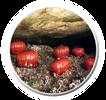 שושנת ים אדומה