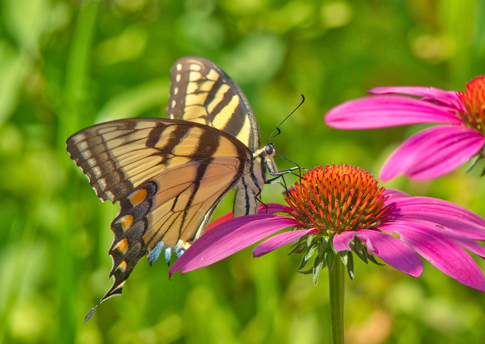 Eastern Tiger Swallowtail Butterfly on Purple Coneflower