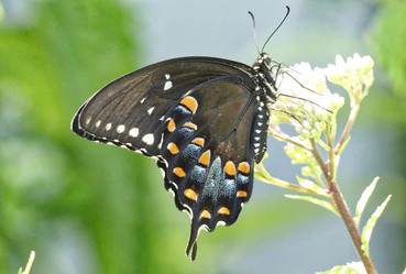 Dark Phase Eastern Swallowtail Butterfly