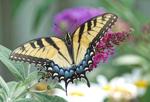 Eastern Swallowtail captured with Lumix FZ300