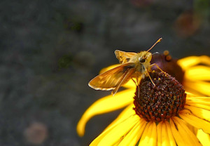 Sachem Skipper captured by Lumix FZ300