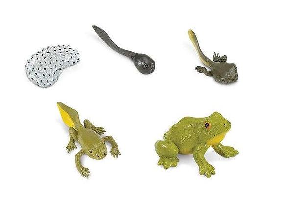 Life Cycle of a Frog (개구리 성장)