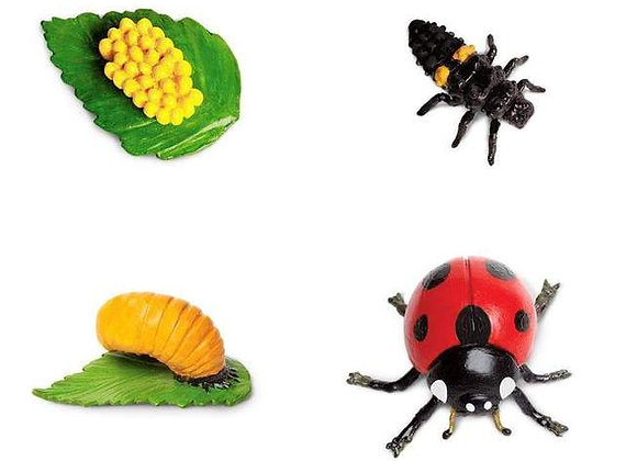 Life Cycle of a Ladybug (무당벌레의 성장)