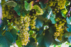 Boucherie Vineyards and Winery - Grapes 1