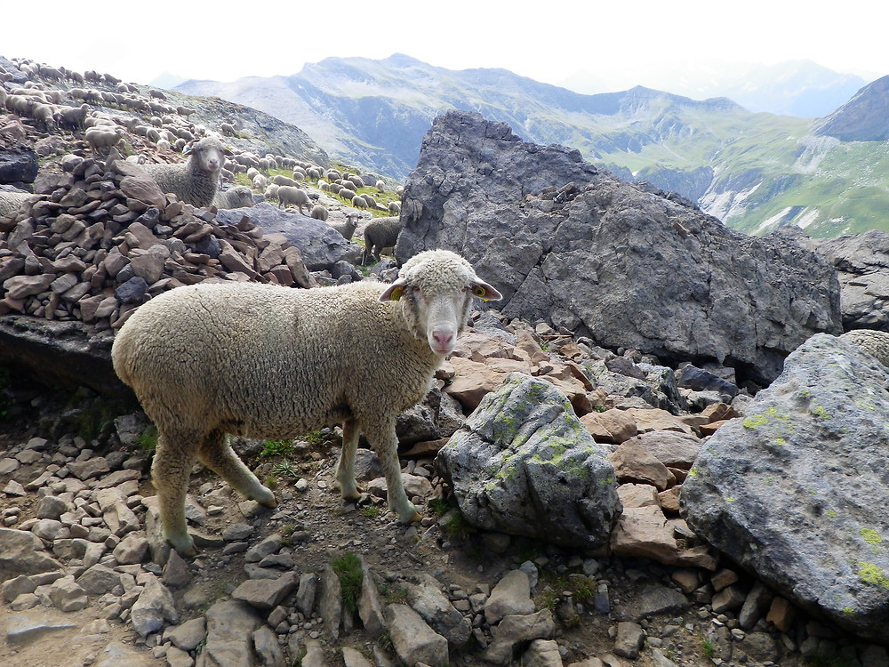 White sheep on Tour du Mont Blanc stony trek