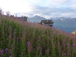 Small mountain hut situated in a field of purple alpine flowers