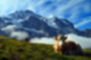 Two cows resting and grazing in alpine pasture in the