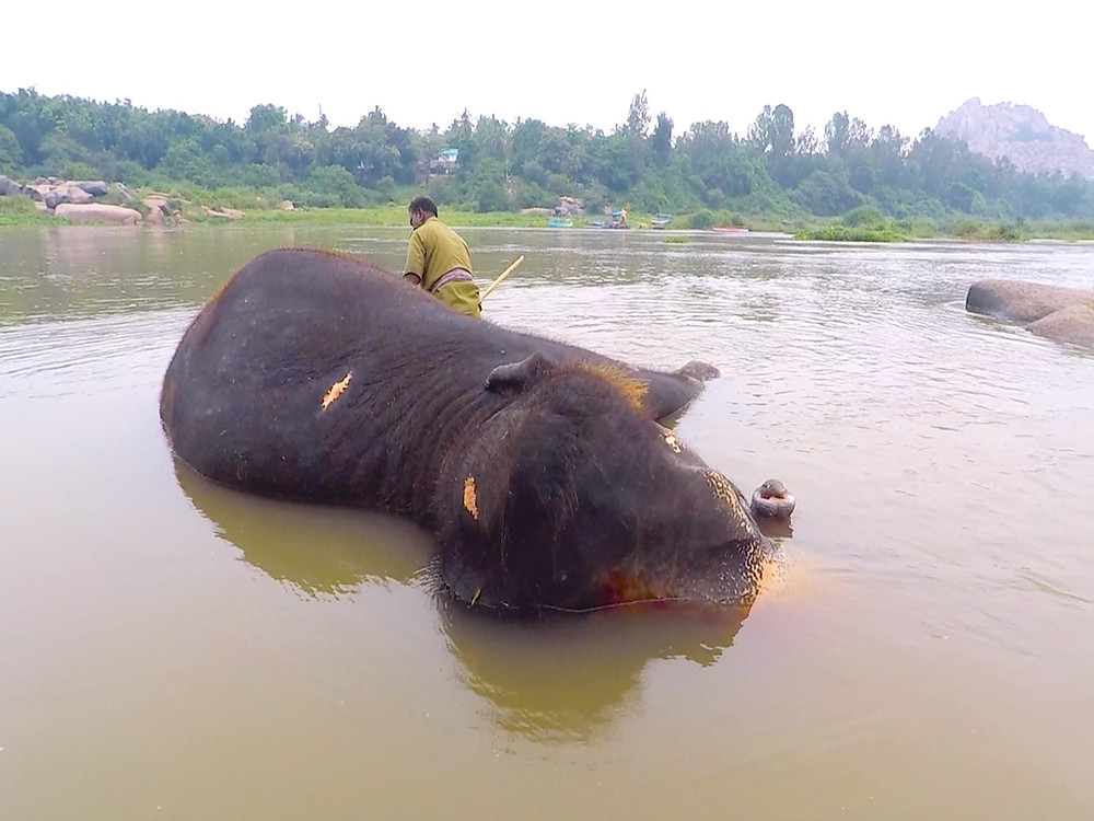 A Mahout bathing his beloved elephant on the bank of Tungabhadra