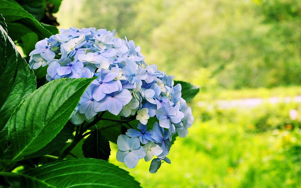 Hortensia flor