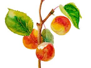Pépin : L'Abricot, Fertile Pulpe du Plaisir.