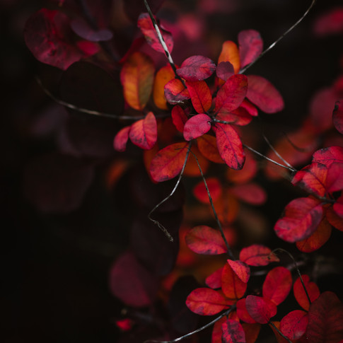 closeup portrait of vibrant red leaved plant against a black background.