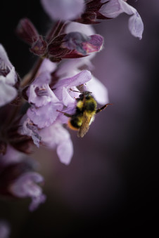 a macro image of a bumble bee on a pruple sage flower.