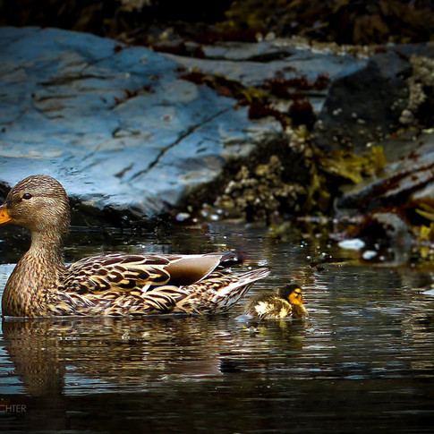 portrait of a brown duck wadding in an ocean shoreline with a duckling on the right.