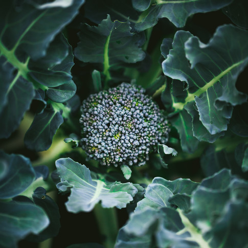 overhead portrait of a head of a broccoli plant.