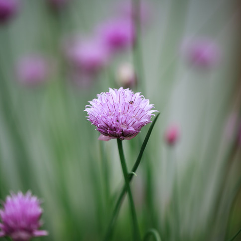 macro portrait of a chive blossom amidst a chive plant.
