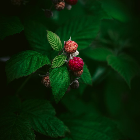 portrait of two ripe raspberries on a raspberry bush.