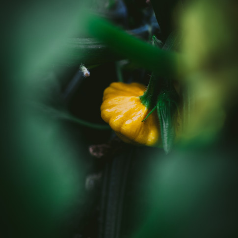 portrait of a yellow squash on the vine surrounded by squash leaves in the foreground.