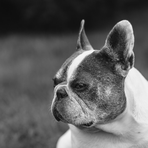 a black and white portrait of a french bulldog looking to the left.
