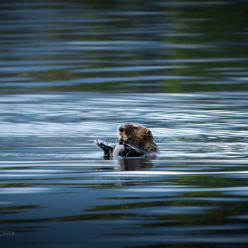 landscape image of an otter on his back in calm waters.