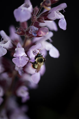 a macro image of a bumble bee on a purple flower.