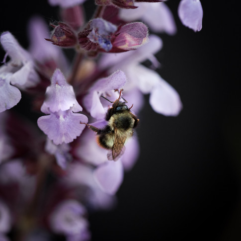macro portrait of a bumble bee on a purple flower.