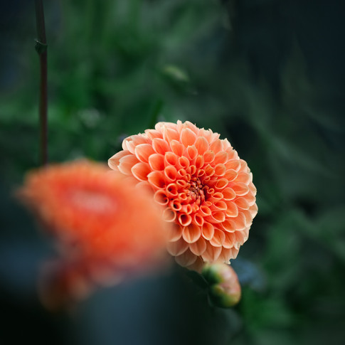 portrait of an orange dahlia and another orange dahlia out of focus in the foreground.
