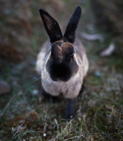 portrait of a being and black rabbit in the field.