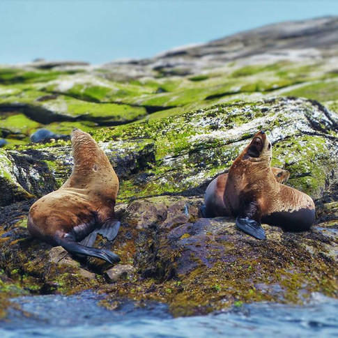 portrait of two sea lions looking upwards on seaweed covered rocks.