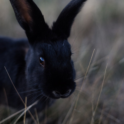close up portrait of a black rabbit.